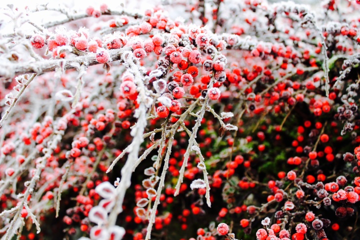 Frozen berries on a bush