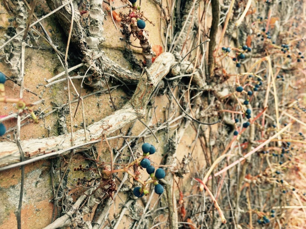Autumnal grape vines cling to a brick wall