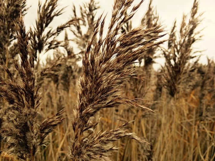 Tall reeds