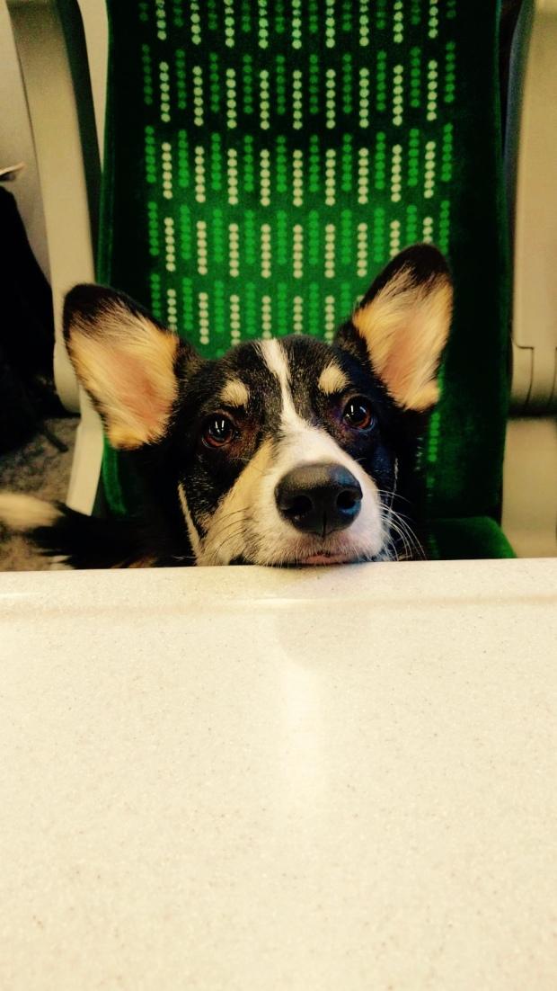 Corgi sitting on a train
