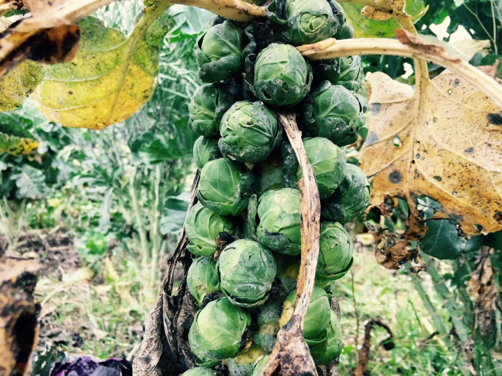 Brussel sprouts growing in an English allotment