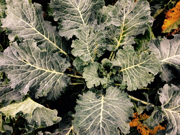 Cabbage plant in English allotment