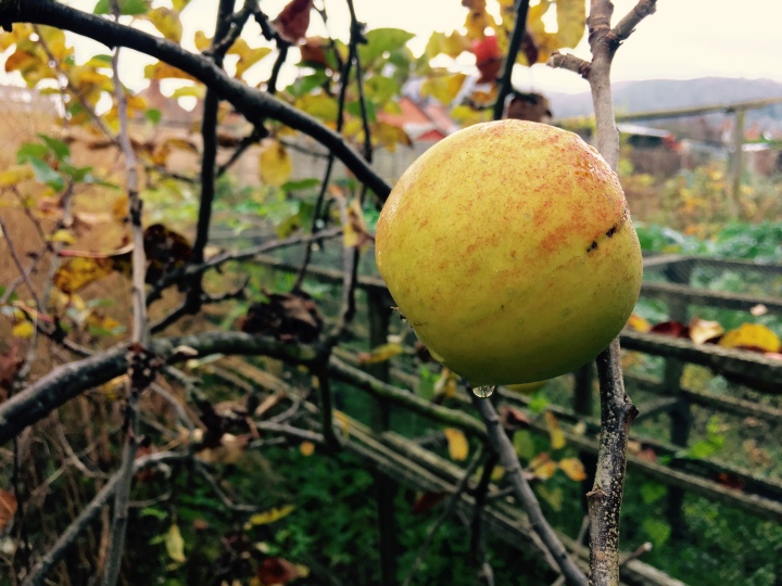 Apple on tree in English allotment