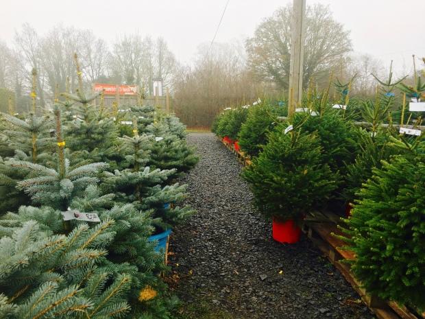 Christmas trees at the Leigh Sinton Christmas tree farm