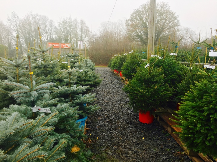 Christmas trees at the Leigh Sinton Christmas tree farm