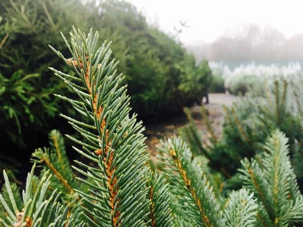 Rows of pine trees at the Leigh Sinton Christmas Tree farm