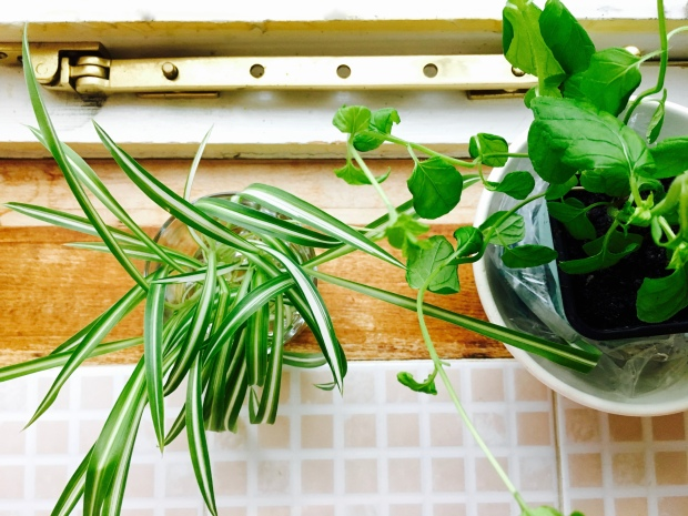 Spider plant and mint plant sit side by side in front of sash window in Georgian style house in England.