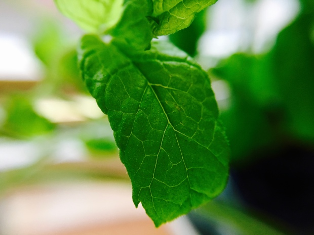 Extreme close up of a mint leaf attached to a mint plant.