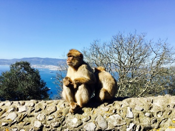 Barbary Macaques in Gibraltar.