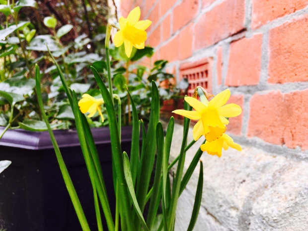 Tiny narcissus flowers blooming.