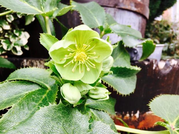 Unidentified flower growing in English garden.