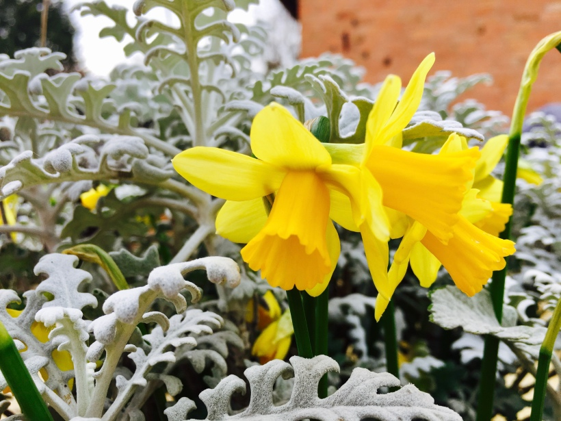Daffodils and a dusty miller plant in a pot.