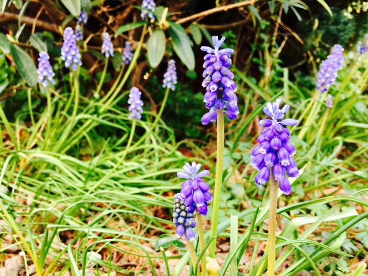 Bluebells flowering in a garden.
