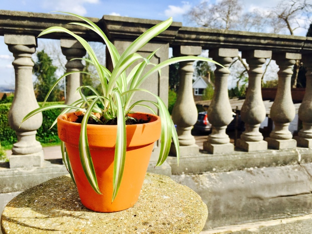 Spider plant in terracotta pot on terrace.