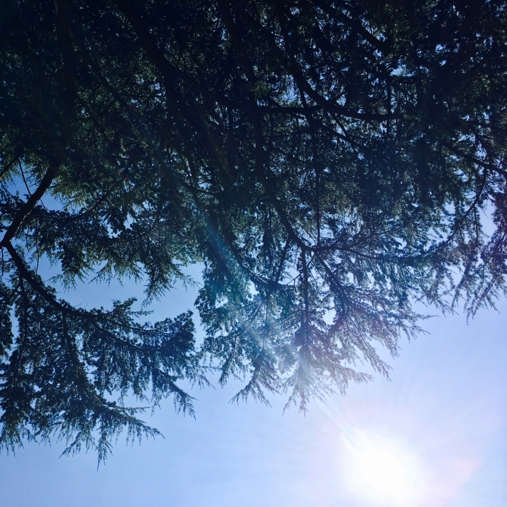 Looking up at a blue sky through the branches of a pine tree.
