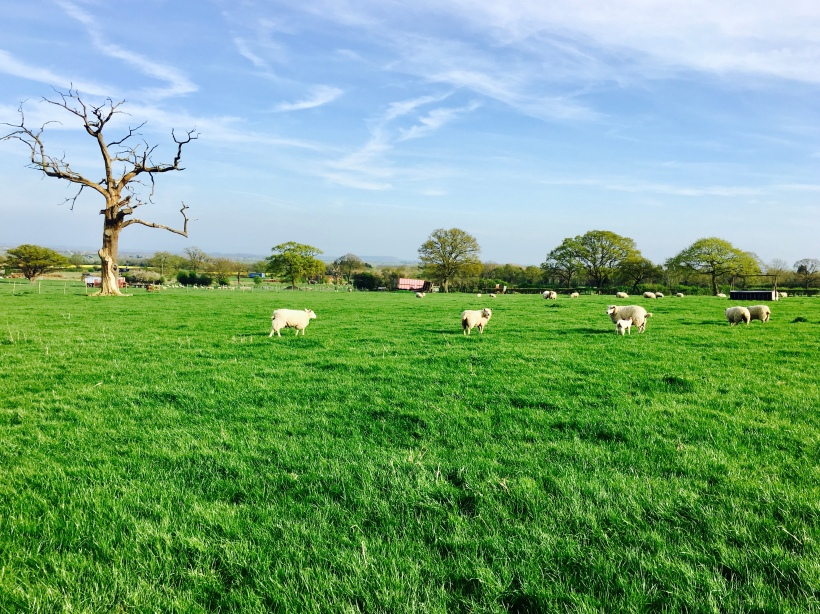 Sheep grazing in a field near Malvern Wells, Worcestershire.