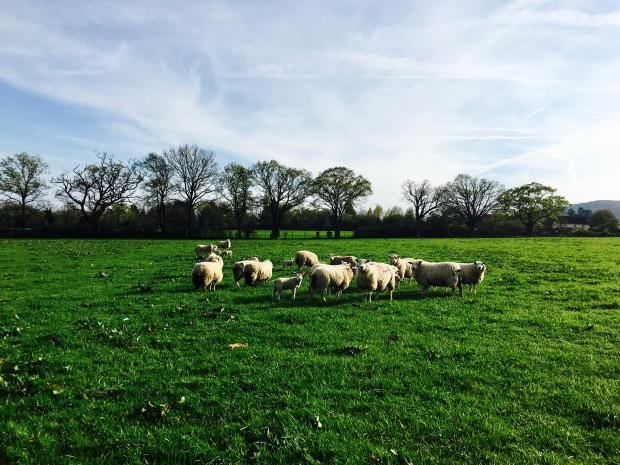 Ewes and spring born lambs in a paddock near Malvern, Worcestershire.
