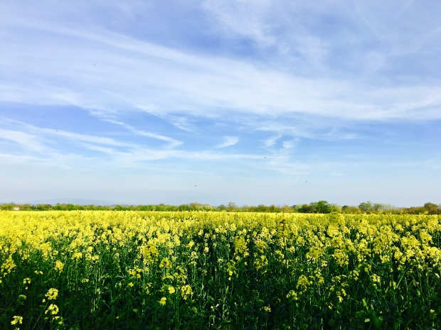 A field of canola or rapeseed in Malvern, Worcestershire.