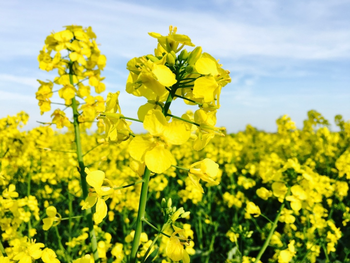 A canola or rapeseed flower up close.