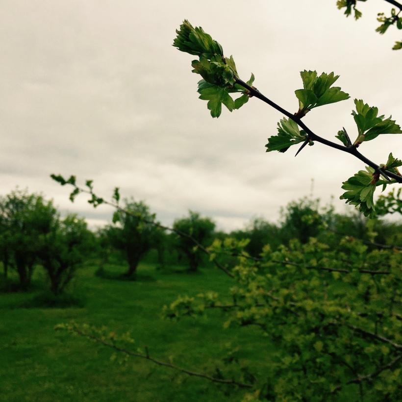 Elderflower tree in orchard.