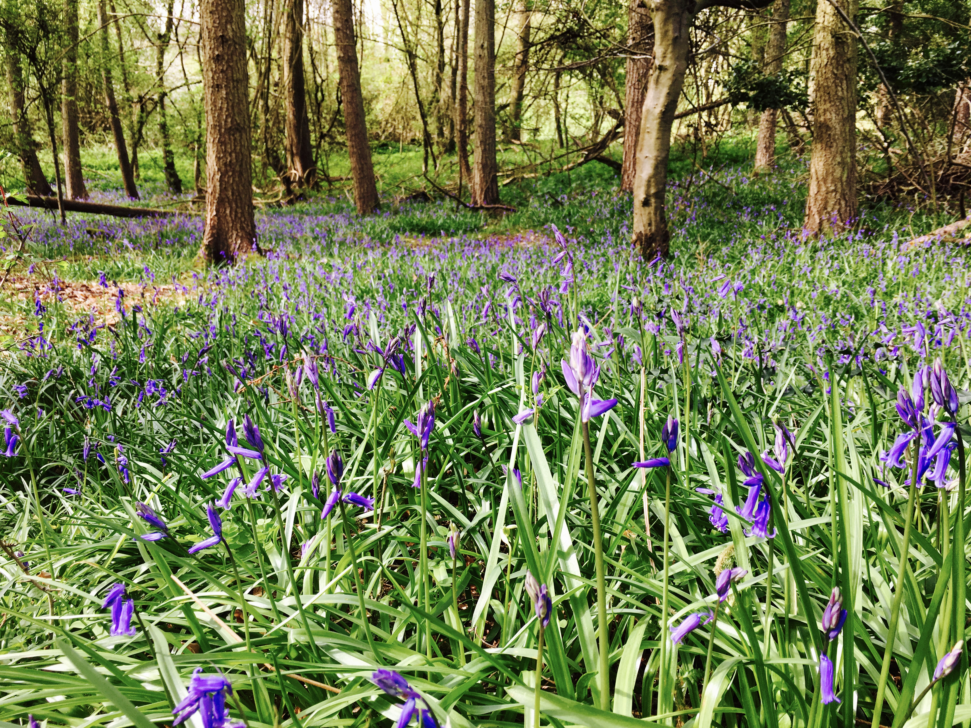 Bluebells in a pine woodland near Nympsfield, Gloucestershire.