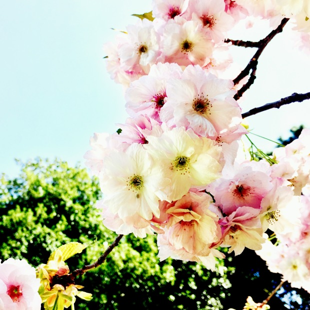 Pink blossom against a blue sky.