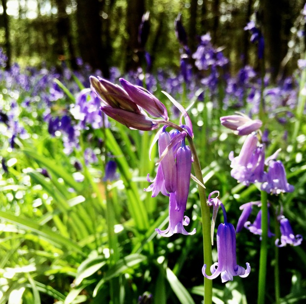 Bluebells in a wood near Nympsfield, Gloucestershire.