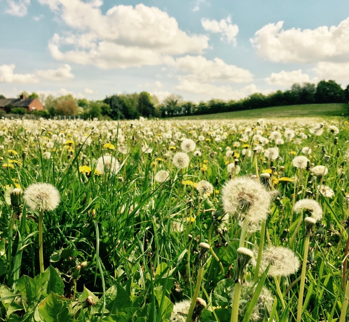 Field of dandelions and daisies in Ombersley, Worcestershire.