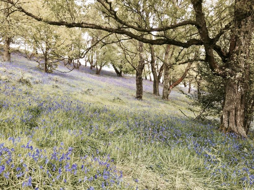 Bluebells on the Malvern Hills, Worcestershire.