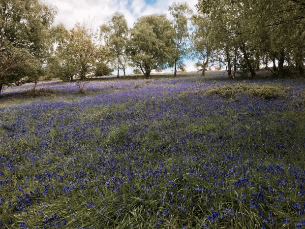 Bluebells on the Malvern Hills, Worcestershire.
