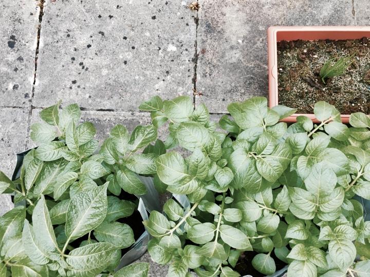 Potato and onion plants.
