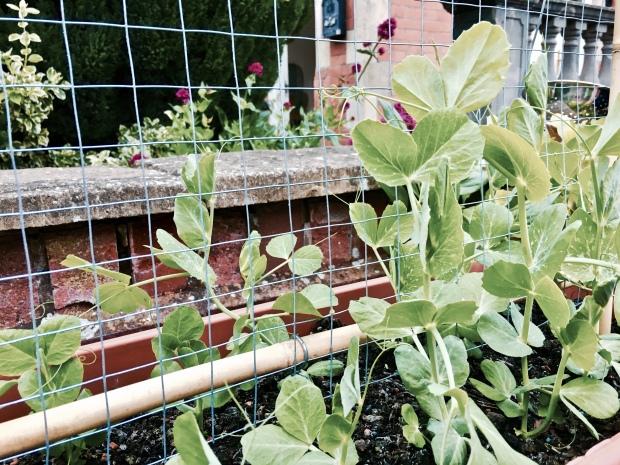 Pea plants climbing a trellis.