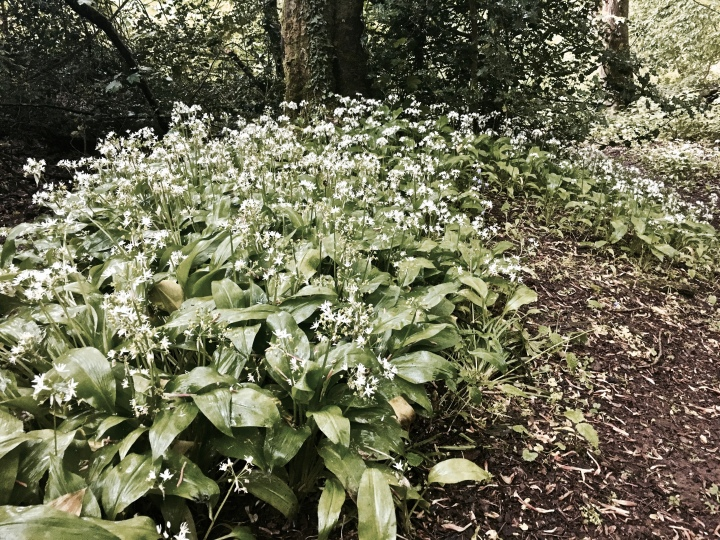 Wild garlic growing on the Malvern Hills, Worcestershire, England.