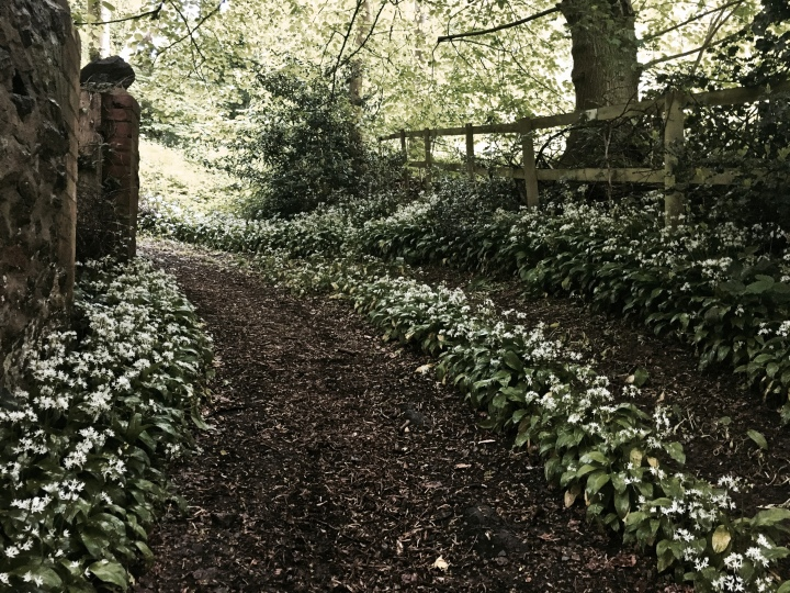 Walking path flanked by wild garlic