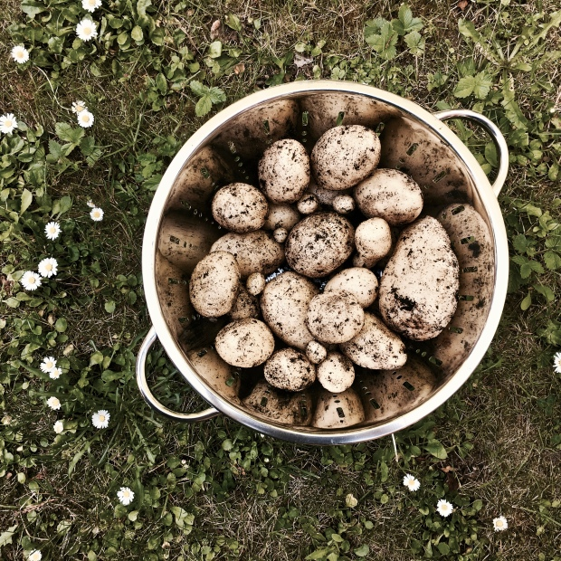 Colander of freshly picked new potatoes.