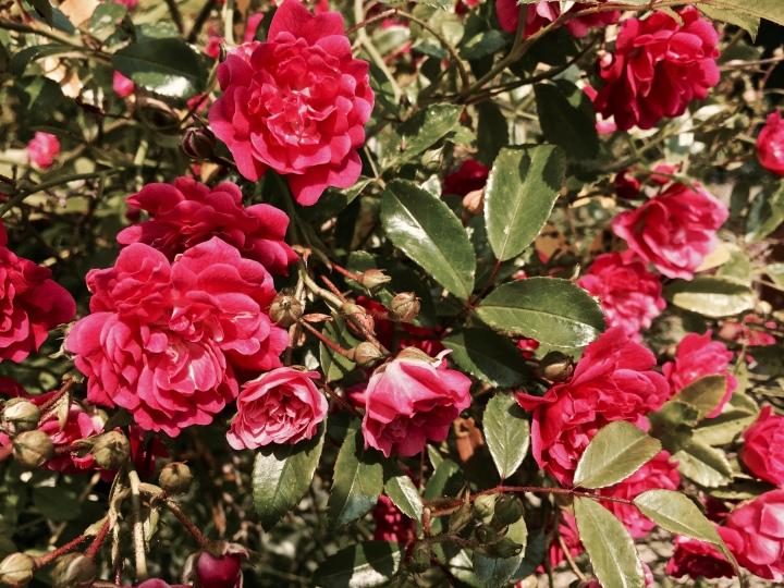 Pink roses in bloom.