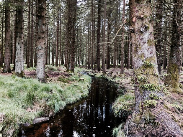 Pine trees besides a stream in Galloway Forest Park, Scotland.