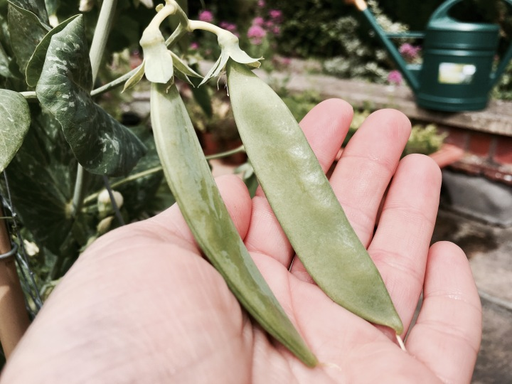 Hands holding peas growing off a plant.