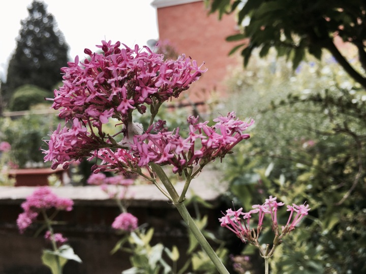 Pink flowers growing in English cottage garden.