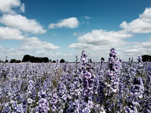 Field of delphinium flowers in Wick, Worcestershire.
