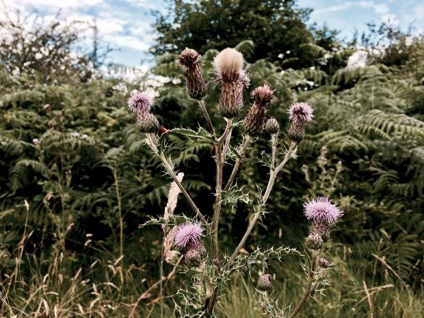 Thistles growing on Castlemorton Common, Worcestershire