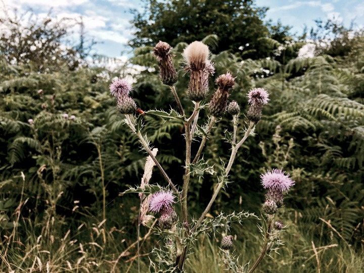 Thistles growing on Castlemorton Common, Worcestershire