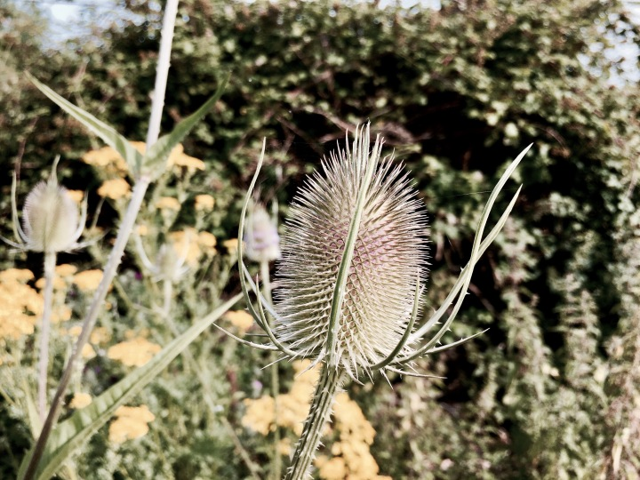 Thistle growing in St Wulstan's Nature Reserve, Malvern Wells, Worcestershire, England.