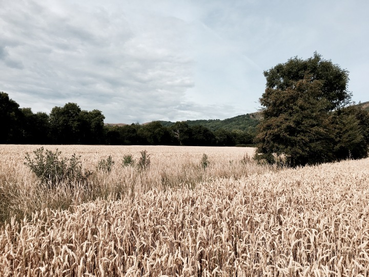 Wheat crop at Malvern Wells, Worcestershire, England.