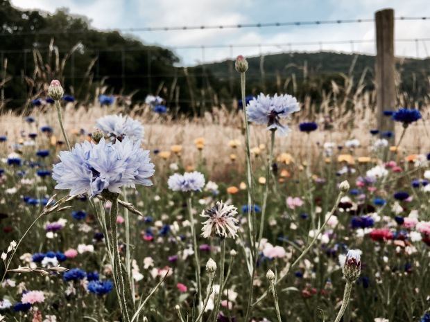 Flowers growing in front of fence with the Malvern Hills in the background.