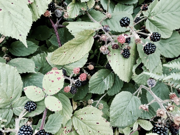 Wild blackberries growing on Malvern Common, Worcestershire England.