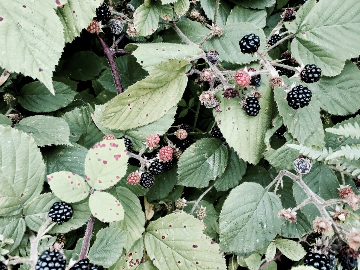 Wild blackberries growing on Malvern Common, Worcestershire England.