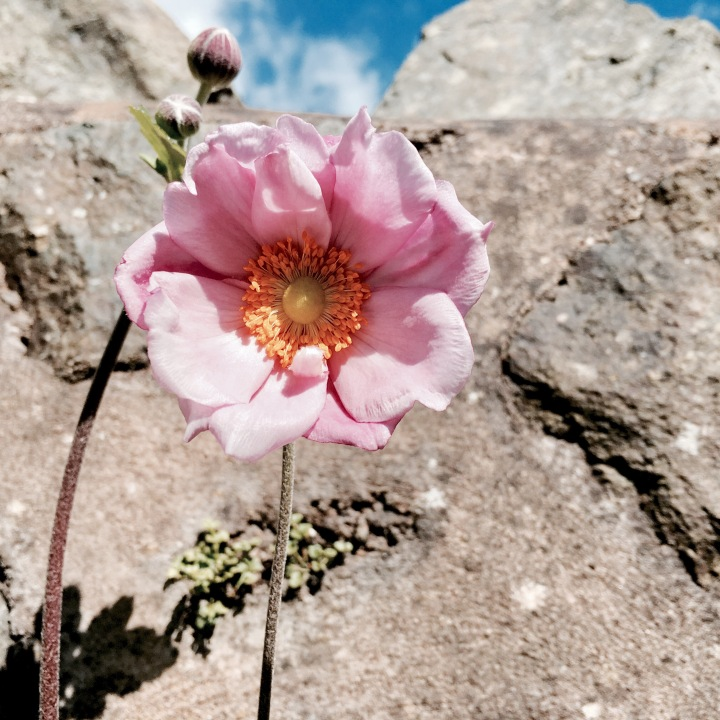 Pink flower growing against a stone wall.