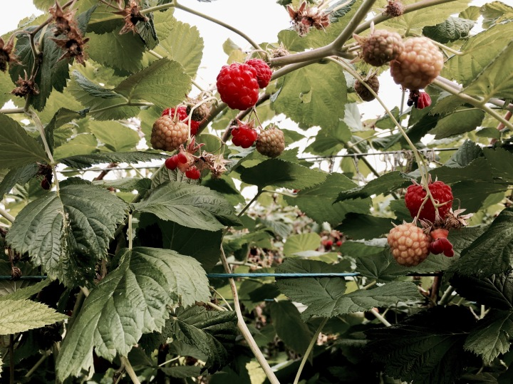 Raspberries growing in a large greenhouse in Worcestershire, England.