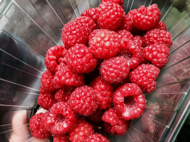 Freshly picked raspberries sitting in a clear container.